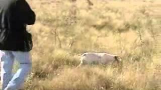 getlinkyoutube.com-CAZA DE PERDIZ  EN LOS SURGENTES - CBA - con pointer - (leccion de caza)