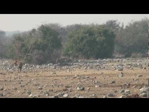 2 Lions Vs. 3 Hyenas In Africa part 2 Of 3