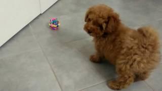 getlinkyoutube.com-Barboncino toy gioca e litiga con una pallina