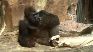 getlinkyoutube.com-Gorilla picks his butt, sniffs his finger, then eats it!