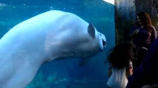 getlinkyoutube.com-Mystic Aquarium Beluga Whale and laughing kids