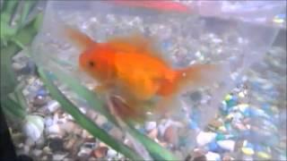 गोल्डफिश सुनहरीमछली एक्वेरियम में पालनेके के बारेमे सब महत्वपूर्ण बाते