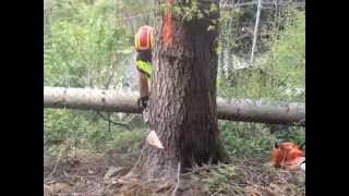 getlinkyoutube.com-abbattimento alberi utilizzando un cric idraulico, Arezzo
