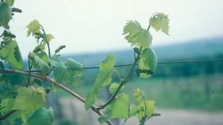 getlinkyoutube.com-Grape Video 21   The Basic Skills for Pruning Grapevines