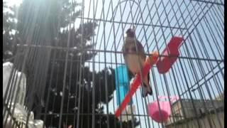 getlinkyoutube.com-chardonneret khalwi super chant tiwawati a vendre