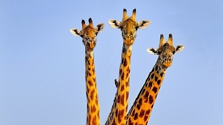 getlinkyoutube.com-Giraffe With 3 HEADS Spotted ?