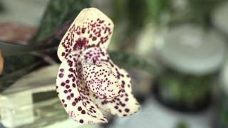 getlinkyoutube.com-Redlands International Orchid Festival featuring Jeff Adkins - Documentary trailer.