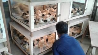 getlinkyoutube.com-Contoh Box penghangat untuk DOC Ayam Kampung @doc.HASIL UNGGAS FARM