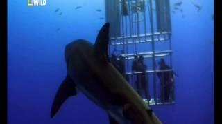 getlinkyoutube.com-Шокирующие кадры! Нападение белой акулы на людей!