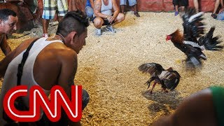 getlinkyoutube.com-Cockfighting in Cuba: A legal gray area