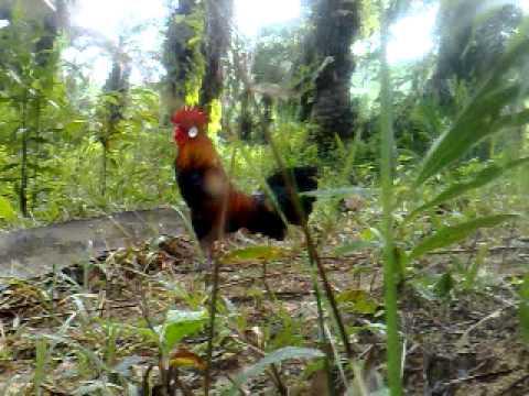 pikat ayam hutan mantap 8