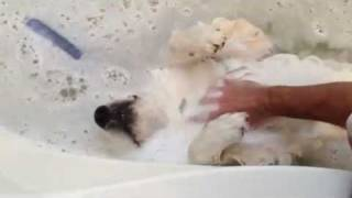 風呂好きの犬。顔まで使って「気持ちえぇぇわぁぁぁ」