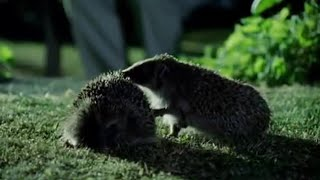 Hedgehog-Mating-Rituals-Attenborough-Life-of-Mammals-BBC width=