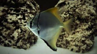 Mono Angelfish (Monodactylus Argenteus) Care & Tank Set up Guide