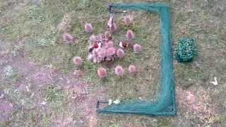 getlinkyoutube.com-Automatic Bird Trap Trampa Uccelli Trappola Piègeà oiseaux Control Aviary Vogelfalle Schlagnetz