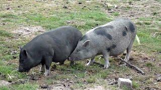 getlinkyoutube.com-Schweine Bei Der Paarung - Parung Bei Tieren | Paarung der Tiere