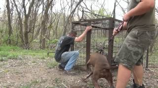 getlinkyoutube.com-Hog Trap 28, 3 Little Pigs and a Pit Bull