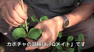 菜園作業/キュウリの断根挿し接ぎ