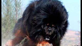 getlinkyoutube.com-Los 10 Perros más Grandes del Mundo , The Greatest  Dog World
