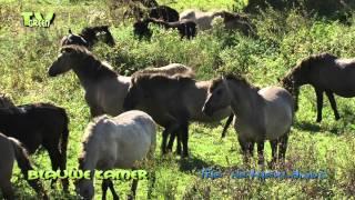 getlinkyoutube.com-Fighting for a lady: Konik horses - Konik paarden in de Blauwe Kamer