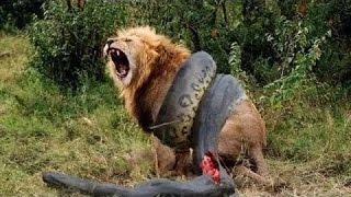 Anaconda vs Tiger and Jaguar