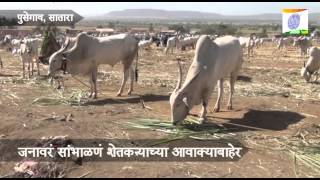 getlinkyoutube.com-Bullock Bajar_Pusegaon Yatra