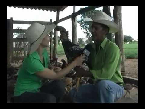 Índio Gigante - Raça de Galinhas tem frangos reprodutores comercializados a R$ 1500,00.wmv