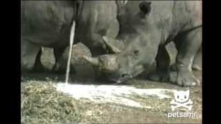 getlinkyoutube.com-Most disgusting animal video ever - Rhino drinks pee