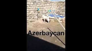 getlinkyoutube.com-Alabay Azerbaycan