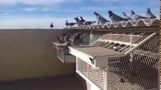 getlinkyoutube.com-Pigeon voyageur :lwla3a m3a abde lhafid