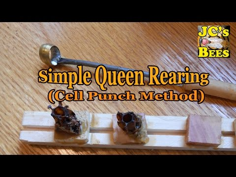 Simple queen rearing (cell-punch method)