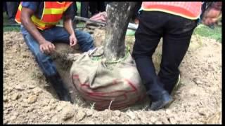 getlinkyoutube.com-การฝึกปฏิบัติ การตัดแต่งกิ่งไม้ การขุดล้อมต้นไม้ การเคลื่อนย้ายต้นไม้ และการปลูกหลังการขน
