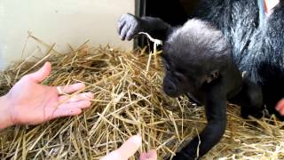 getlinkyoutube.com-Gorillafication of Baby Gorilla Kamina Week 9 - Cincinnati Zoo
