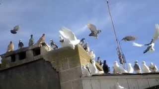 getlinkyoutube.com-Агасиевские голуби.Голуби Валерия Герасименко. Игра бойных голубей.