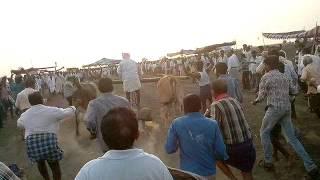 getlinkyoutube.com-Ongole bull race wonder at proddatur