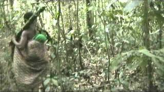 getlinkyoutube.com-Bayaka people hunting in the forest