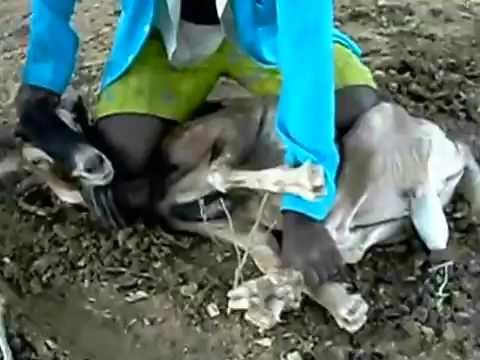 Bode sendo capado - goat being castrated - Castration of Caprino