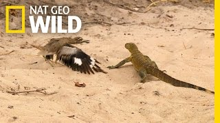 getlinkyoutube.com-Bird vs. Lizard | Real Angry Birds