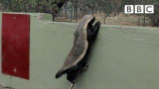 Honey Badger Houdini - Honey Badgers: Masters of Mayhem - Natural World - BBC Two