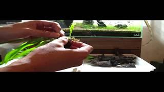 getlinkyoutube.com-Bee AQUA tanaka ミクロソリウムの活着方法♪