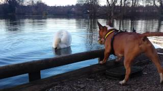 getlinkyoutube.com-Mini bull terrier vs swan