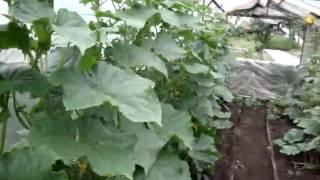getlinkyoutube.com-Пасынкование огурцов для увеличения урожайности