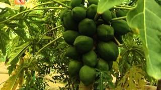 getlinkyoutube.com-Vijayan Pillai's Pappaya Thottam