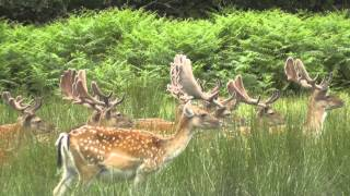 getlinkyoutube.com-Fallow Deer In The New Forest
