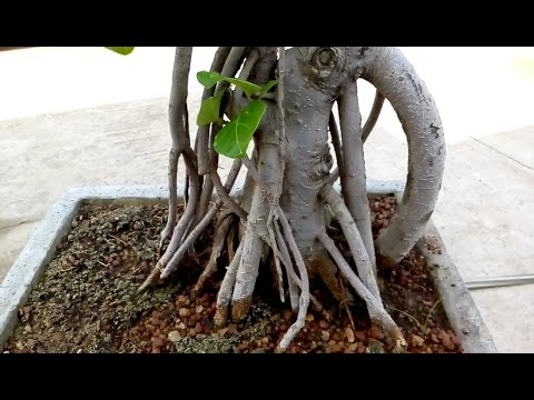 How to repot and pruning bonsai Banyan tree.