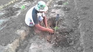 Memulai Menanam Bibit Pepaya di Kebun