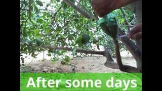 getlinkyoutube.com-एयर लेयरिंग कैसे करें --How to air layering lemon tree With Update Full episode( Hindi)