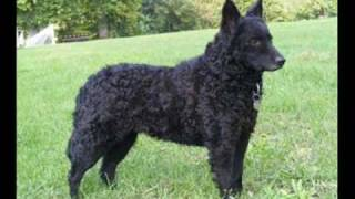 getlinkyoutube.com-Top 10 Rare Dog Breeds