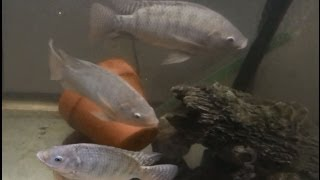 getlinkyoutube.com-How to Raise Tilapia at Home Update - Great for Prepping