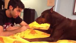 getlinkyoutube.com-Vicious Doberman Attack